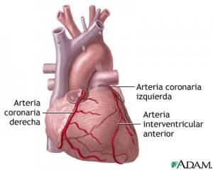 corazón - transporte de gases - respiración - bronquitis
