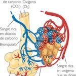 Descripción del Proceso Respiratorio