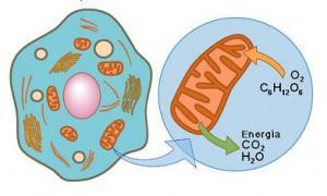 respiración-celular-Bronquitis