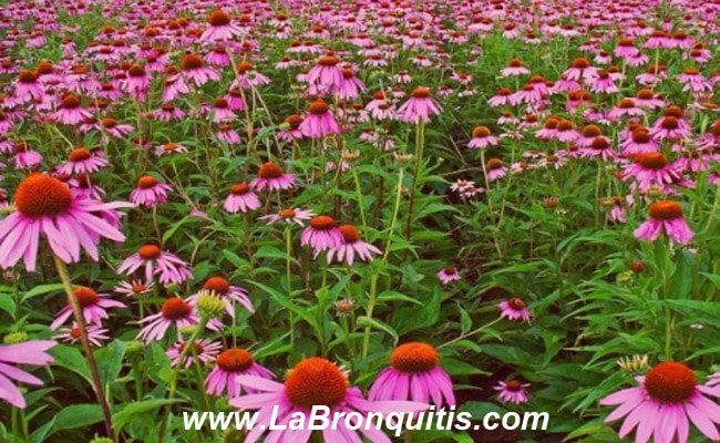 Echinacea para tratar la bronquitis