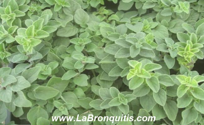 Orégano para aliviar la bronquitis