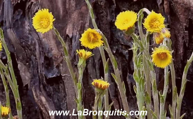 Tusilago o Coltsfoot (Tussilago farfara) alivio bronquitis