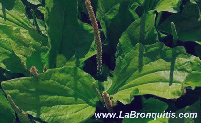 llantén combatir bronquitis